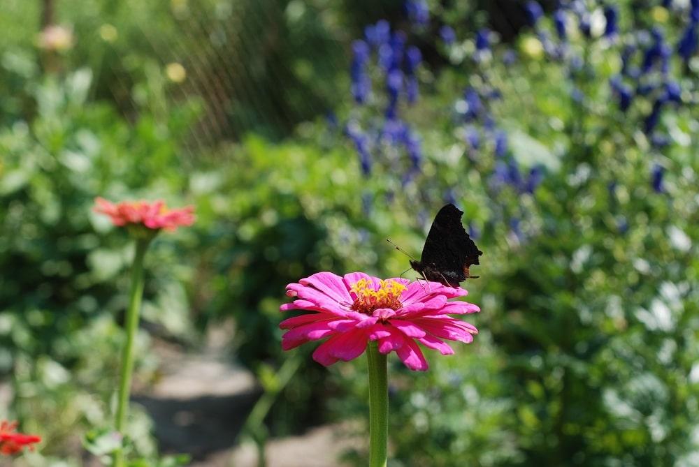 motyl siedzi ma kwiatku. Cynia w świetle porannego słonka.