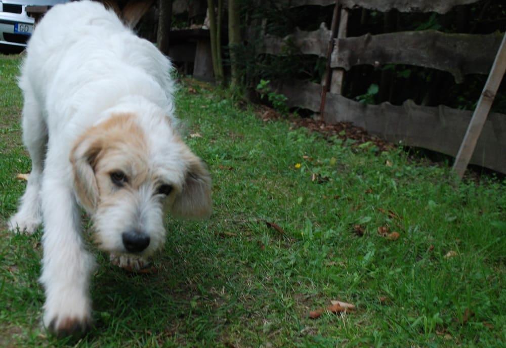 Pies skrada się do pieszczot. tłem jest zielona trawa po której idzie.