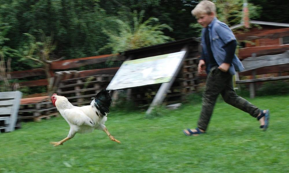 Chłopiec biegnie za kogutem