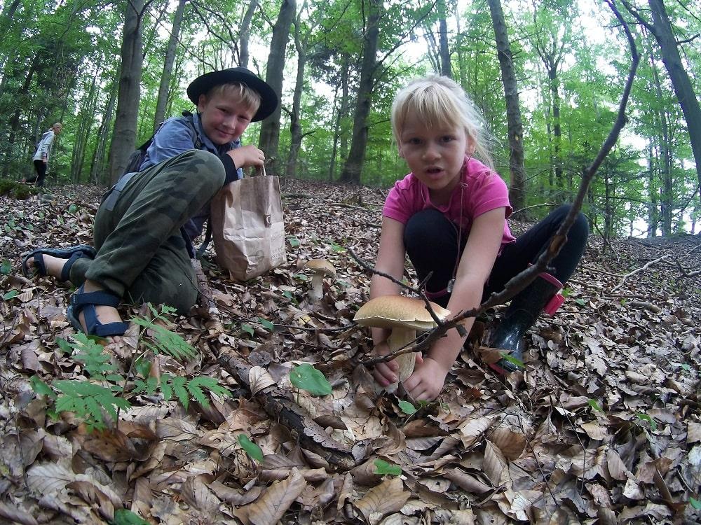 Dorodne prawdziwki odnalezione. Puszcza, suche liście, prawdziwki i prawdziwi zbieracze.