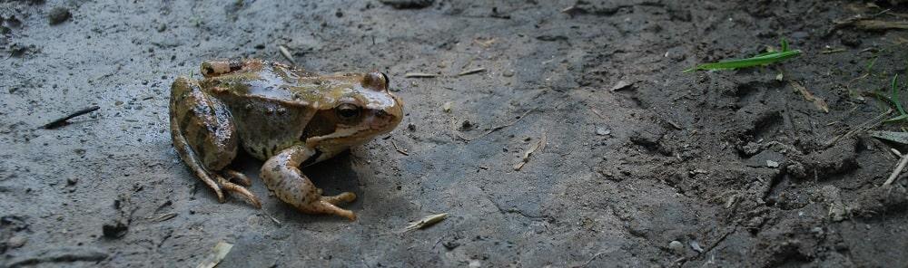 Droga wilgotna na niej żaba skierowana w prawą stronę.