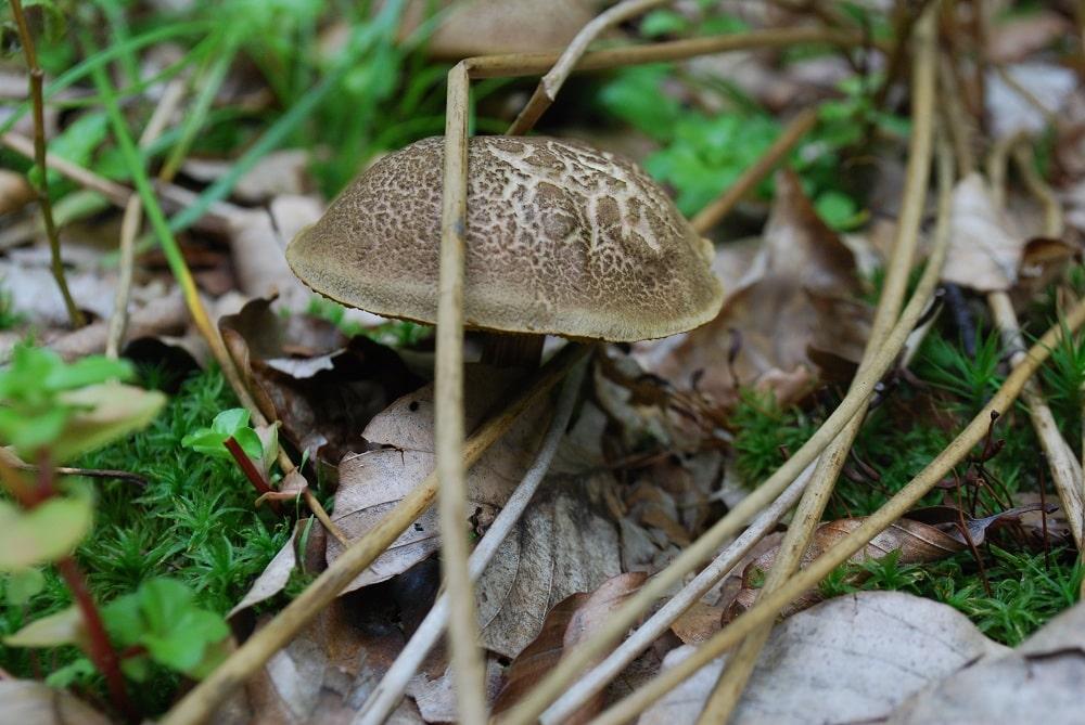 Ściółka leśna, mech, suche liście, w tej scenerii wyrasta grzyb brązowy, zajączkiem nazywany.